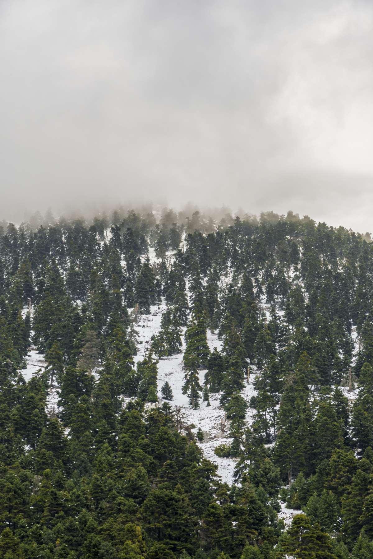Ελικώνας, χιόνια στο ελατόδασος