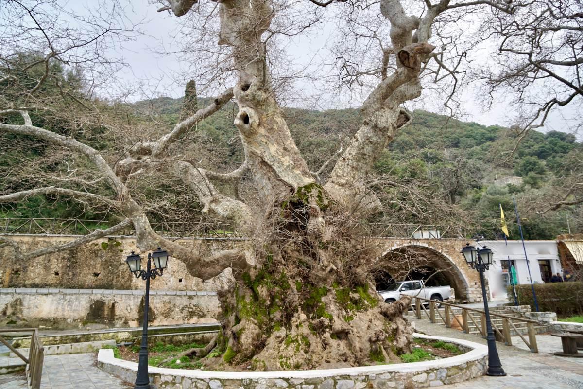 Ο γηραιότερος πλάτανος του κόσμου βρίσκεται στην Ελλάδα, σε έναν ορεινό παραδοσιακό οικισμό της Κρήτης