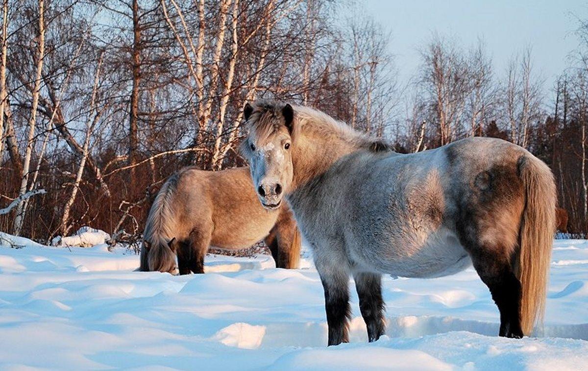 Χριστούγεννα 2021 στο Yakutsk αλογάκια στο χιόνι