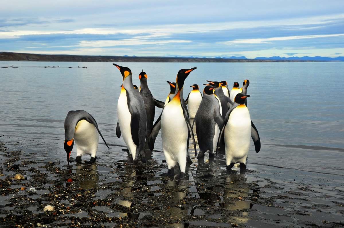 """Οι """"Βασιλιάδες"""" πιγκουΐνοι στην παραλία στο νησί της Tierra del Fuego"""