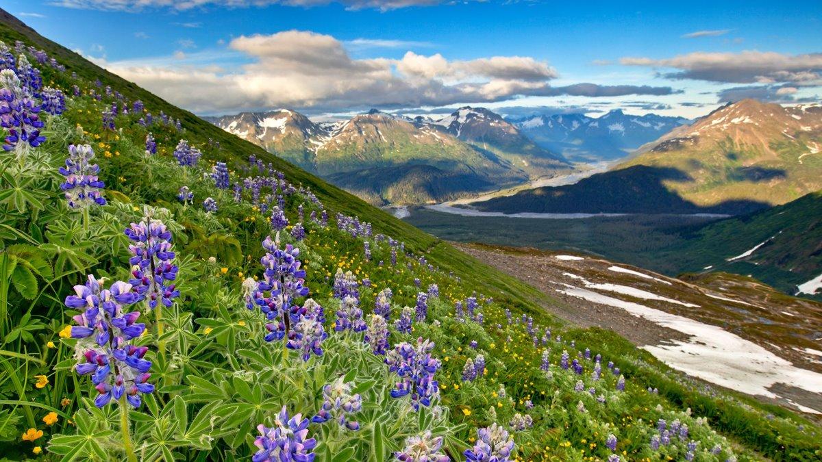 καλοκαίρι στην Αλάσκα με ανθισμένη φύση