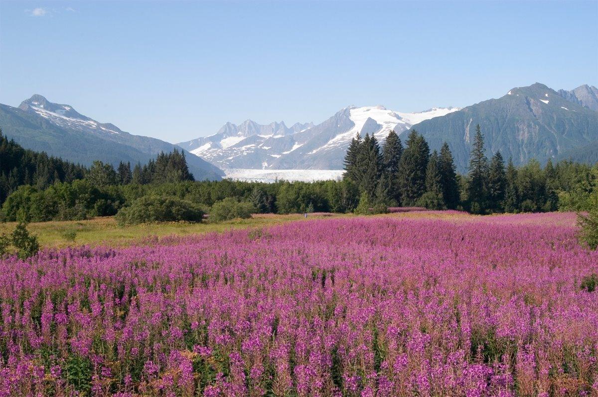 ανθισμένη φύση το καλοκαίρι στην αλάσκα