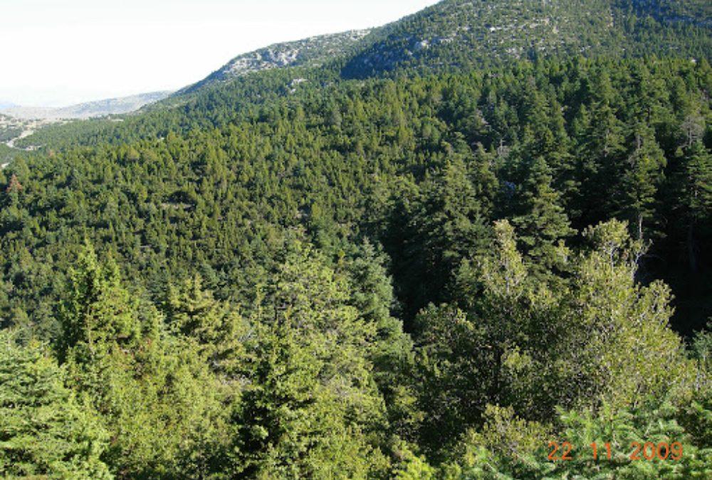 Το Κεδρόδασος του Πάρνωνα