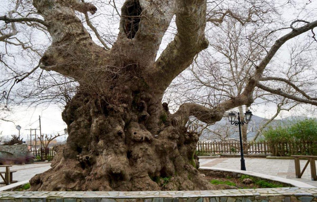 Κράσι Ηράκλειο Κρήτης μεγαλύτερος πλάτανος