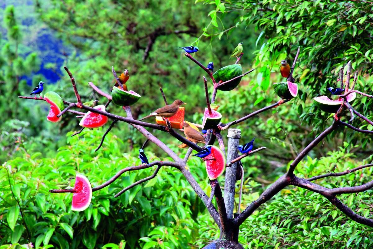 Πουλιά στο πάρκο La Fortuna τρώνε καρπούζι που αφήνουν οι επισκέπτες