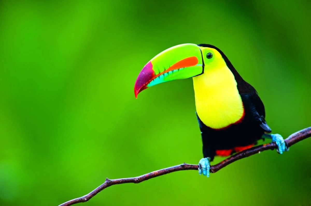 Άγρια ζωή παντού στην Κόστα Ρίκα! - τροπικά πουλιά