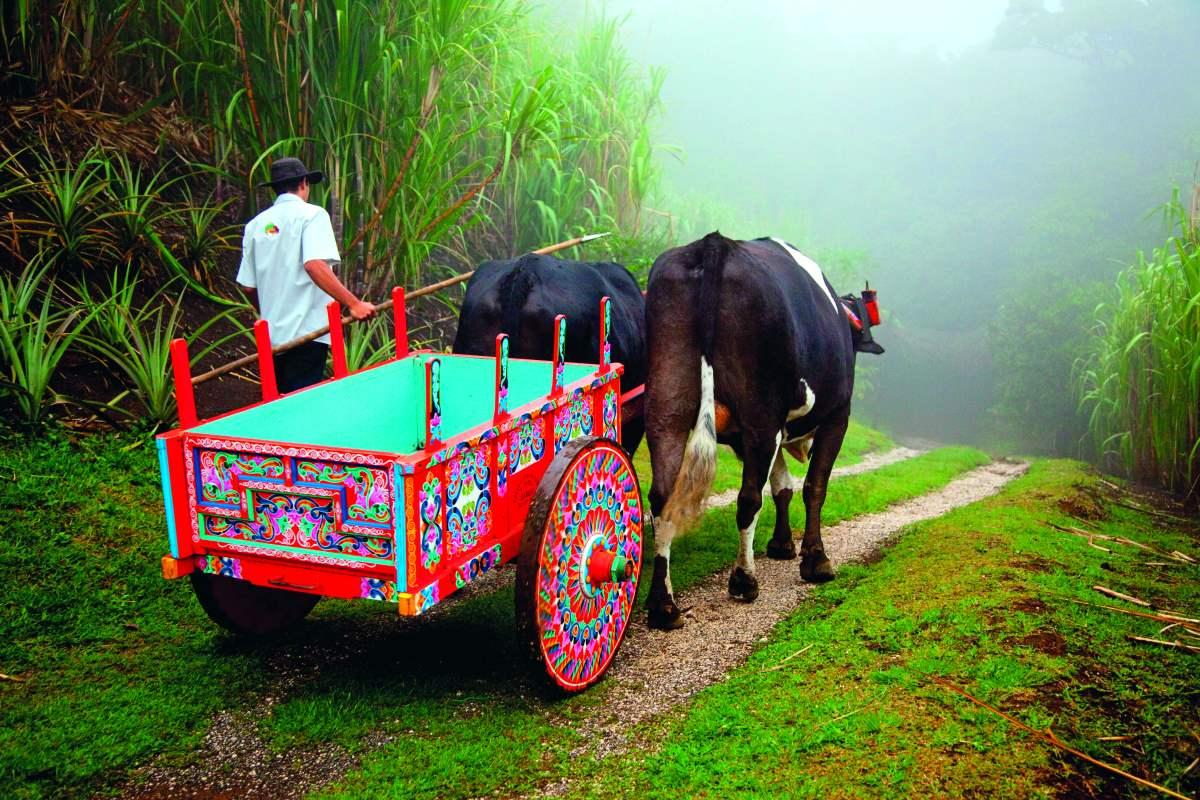 Πολύχρωμο παραδοσιακό κάρο που τραβούν βόδια σε έναν ομιχλώδη επαρχιακό δρόμο Κόστα Ρίκα