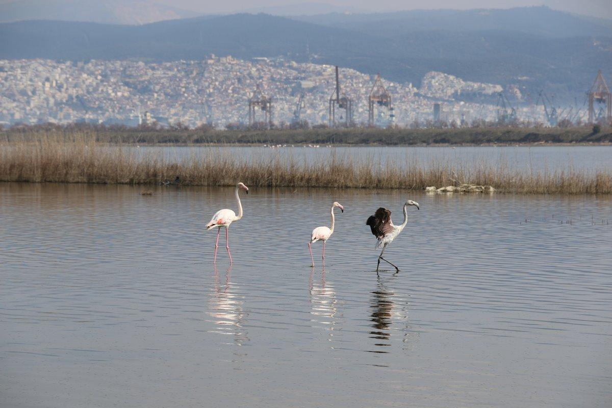 Φλαμίνγκο στη λιμνοθάλασσα Καλοχωρίου