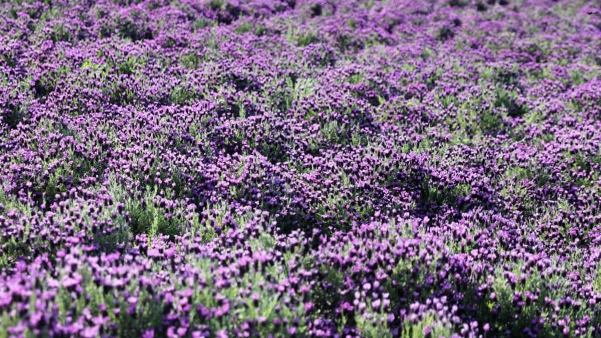 Λιβάδια με μοβ λουλούδια στο Banwol της Νότιας Κορέας
