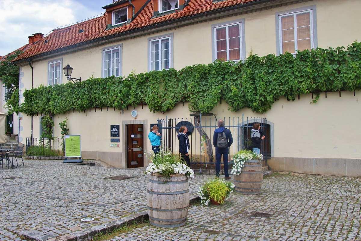 Τουρίστες θαυμάζουν την παλιότερη ποικιλία σταφυλιού στην Ευρώπη. Στην ιστορική συνοικία Lent στο Μάριμπορ