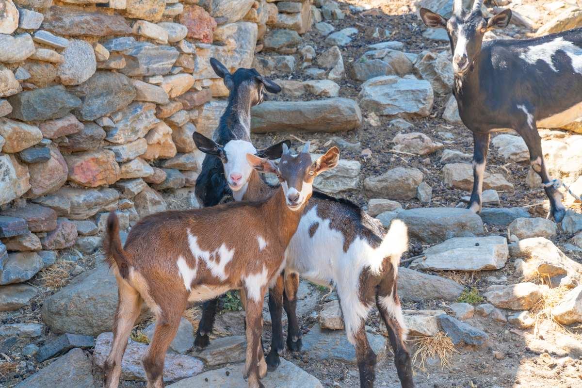 Χωριό Χαλκί, κατσίκες