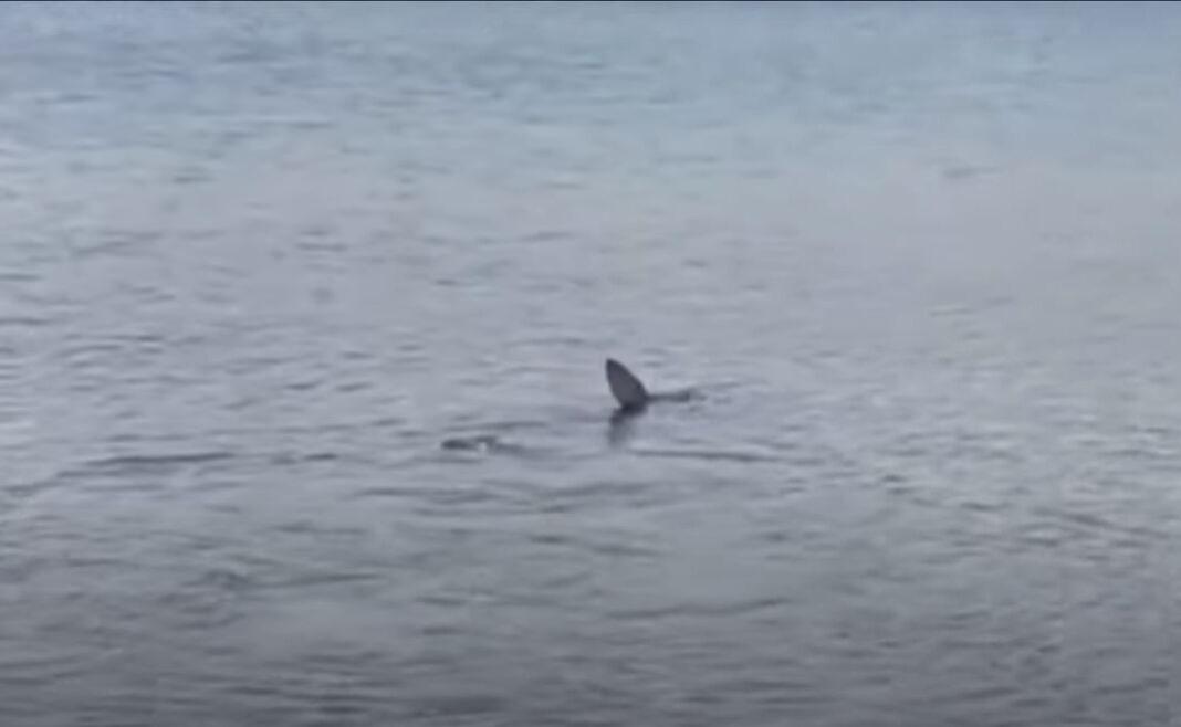 Καρχαρίας σε παραλία του Ναυπλίου