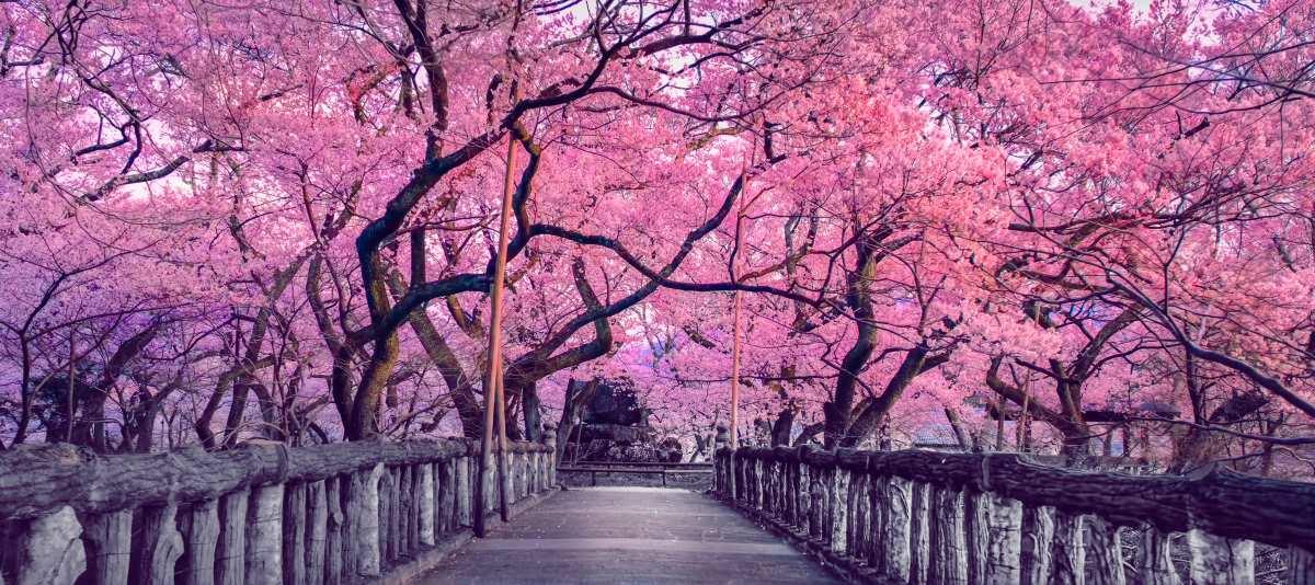 Το μονοπάτι με τις ανθισμένες κερασιές Κιότο