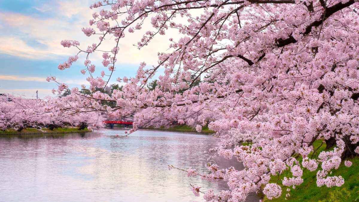 Ιαπωνία -Ανθισμένες κερασιές