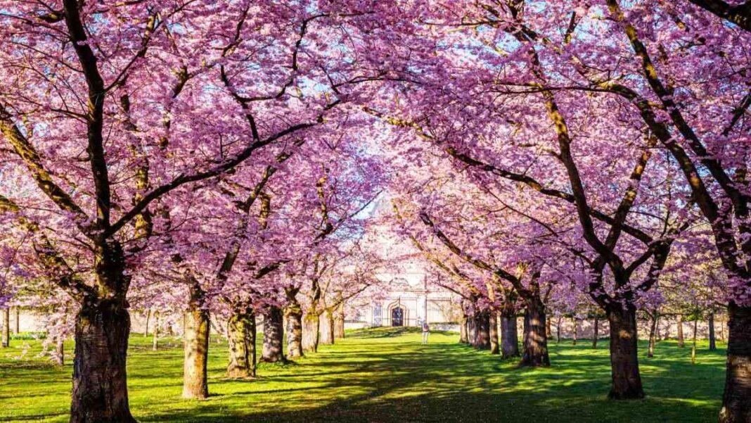 Ανθισμένες κερασιές Ιαπωνία