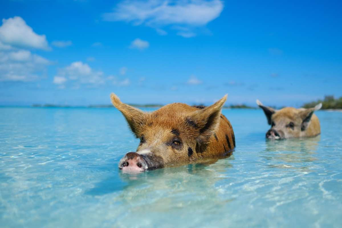 Big Major Cay («Παραλία γουρουνιών»), Μπαχάμες
